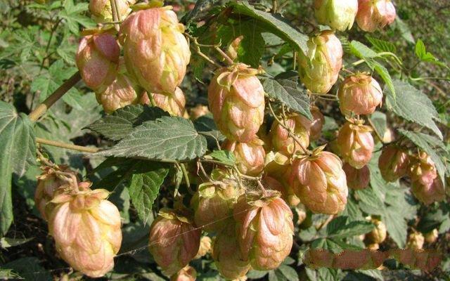 Loài hoa không thể thiếu khi sản xuất bia được bán với giá gần 500.000đ/kg - 1