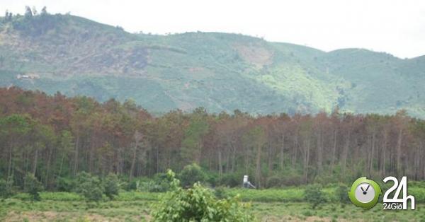 Cận cảnh 10 hecta rừng thông