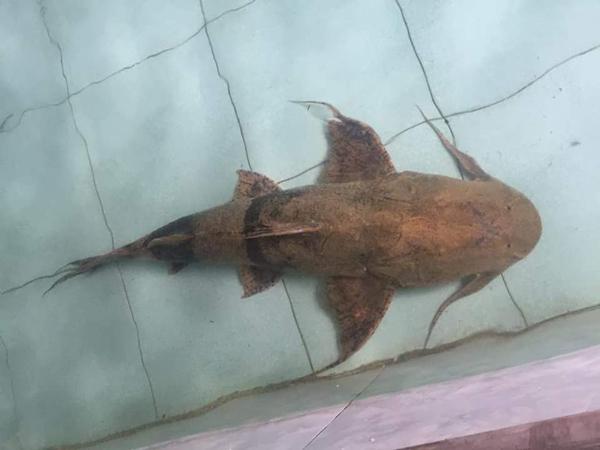 Cá trong sách đỏ được bày bán vô tư, đại gia chi vài chục triệu mua về ăn nhậu - 3