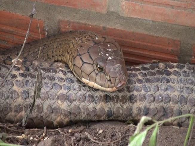 Nóng 24h qua: Bắt được cặp rắn hổ khổng lồ kèm theo ổ rắn con - 1