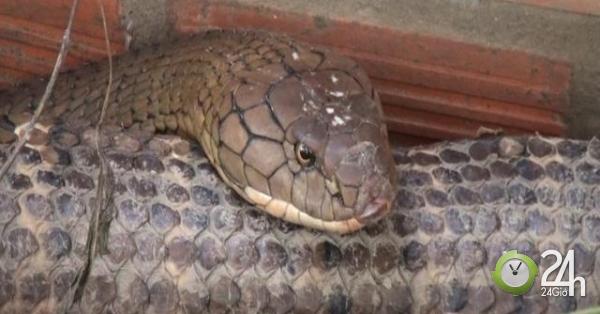 Nóng 24h qua: Bắt được cặp rắn hổ khổng lồ kèm theo ổ rắn con