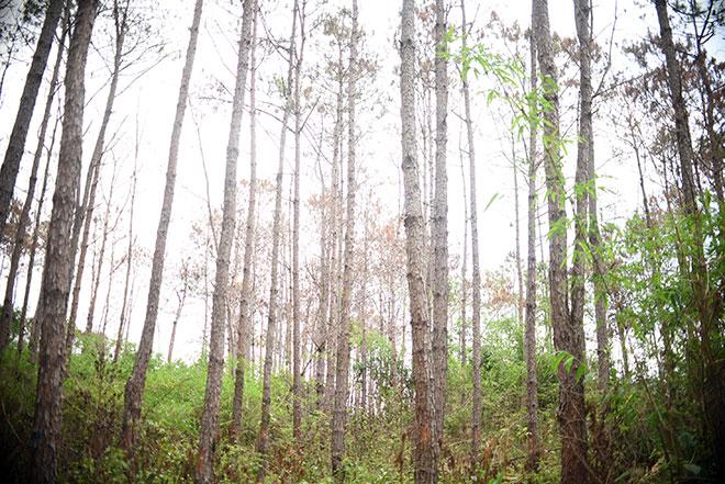 """Thông tin mới vụ hơn 10 ha rừng thông bị """"đầu độc"""" - 2"""