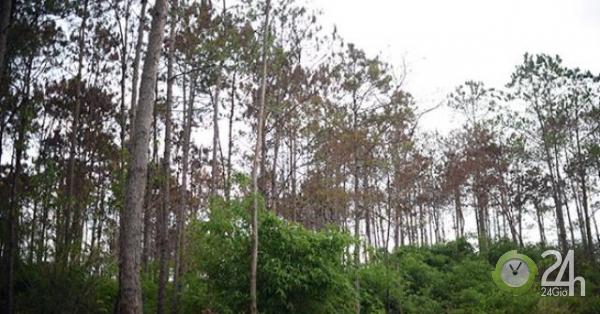 Thông tin mới vụ hơn 10 ha rừng thông bị