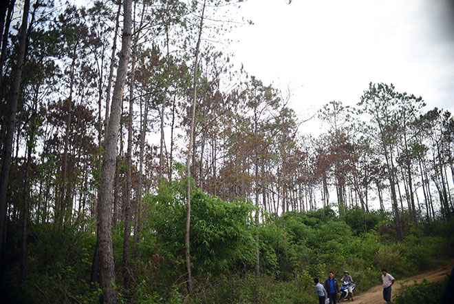 """Thông tin mới vụ hơn 10 ha rừng thông bị """"đầu độc"""" - 1"""