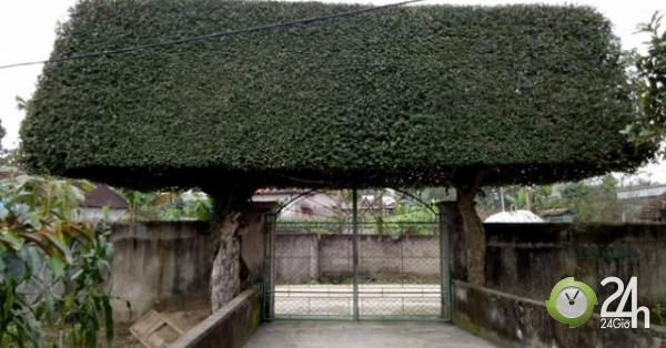 Người đàn ông Nghệ An biến 2 cây duối bỏ đi thành cổng nhà có giá hơn nửa tỷ