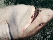 """Giằng co suốt 90 phút, người phụ nữ khuất phục cá mập """"khủng"""" hơn nửa tấn"""