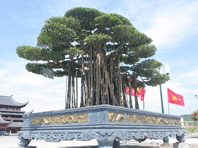 Từ 10 năm trước, đại gia đã chi 12 tỷ để tậu siêu cây cảnh đẹp đến thế này