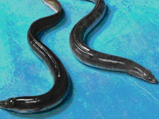 Kiến trúc sư bỏ việc về nuôi loài cá nhìn như rắn, kiếm tiền tỷ