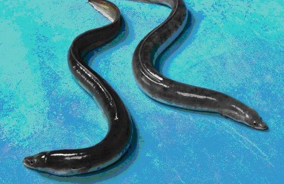 """Kiến trúc sư bỏ việc về nuôi loài cá nhìn như rắn, kiếm tiền tỷ """"ngon lành"""" - 1"""