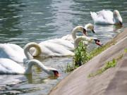 Xuất hiện 2 đàn thiên nga tung tăng kiếm ăn ở hồ ngoại thành Hà Nội