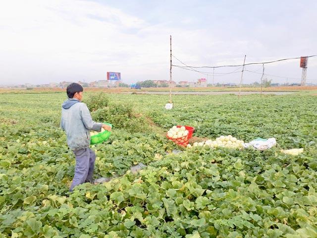 Nghệ An: Trúng mùa dưa lê, nông dân kiếm bộn tiền - 5