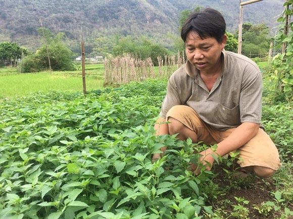 Chỉ trồng rau tầm bóp dại và vài loài rau ăn lá mà thu tiền rất khá - 1