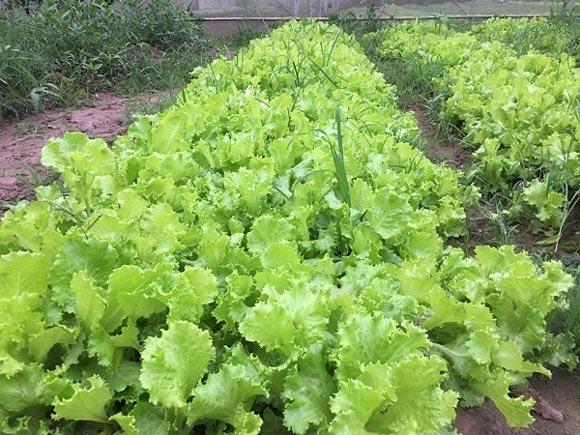 Chỉ trồng rau tầm bóp dại và vài loài rau ăn lá mà thu tiền rất khá - 4