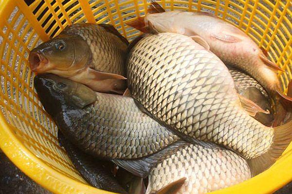 Mắc bệnh này ăn cá chép có thể chết người - 4