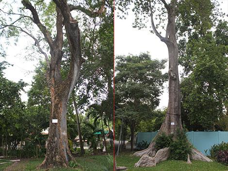 """Chuyện về vườn thú 155 tuổi: Ly kỳ những """"cụ"""" cây của Thảo cầm viên - 3"""