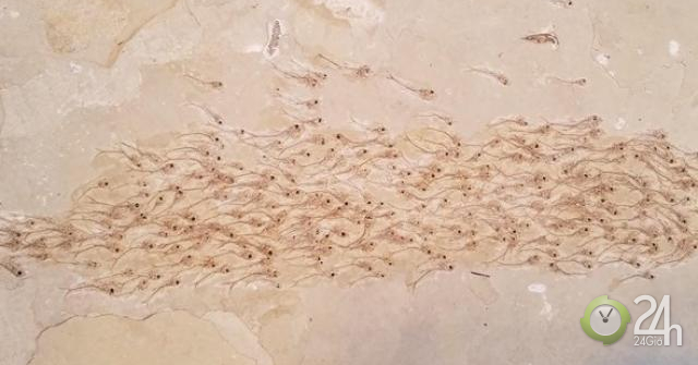 Kinh ngạc hóa thạch 50 triệu năm của đàn cá đang bơi - bơi