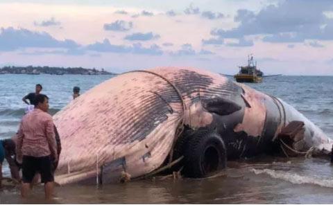 """Bình Thuận: Một """"cá Ông"""" khổng lồ lụy bờ - 1"""