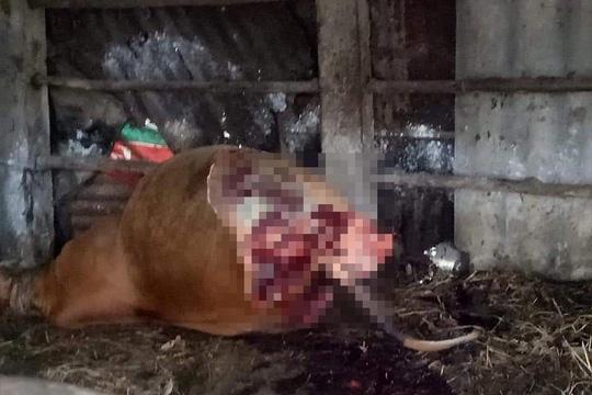 Phẫn nộ kẻ gian xẻ thịt 2 đùi bò mẹ đang mang thai rồi trộm đi - 1