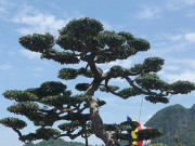 Lão nông Hà Nam bán thóc để mua cây sanh về uốn thành tác phẩm giá gần 2 tỷ