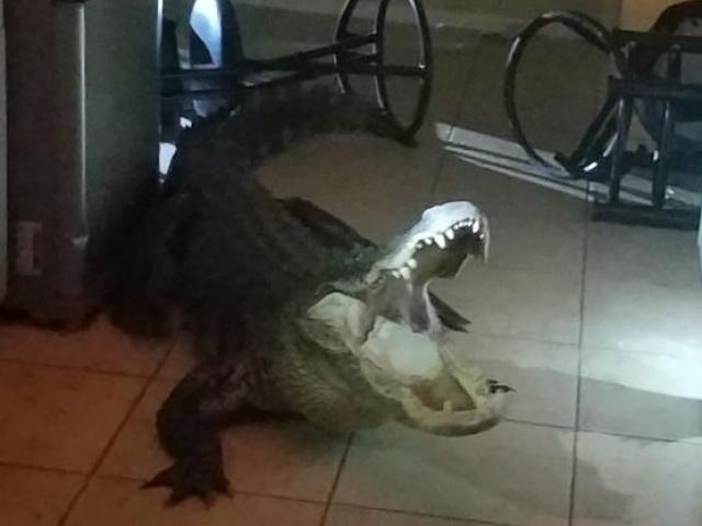 Sáng tỉnh giấc, hoảng hồn thấy cá sấu dài 3 mét nằm rình trong nhà