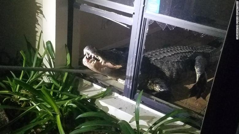 Sáng tỉnh giấc, hoảng hồn thấy cá sấu dài 3 mét nằm rình trong nhà - 2
