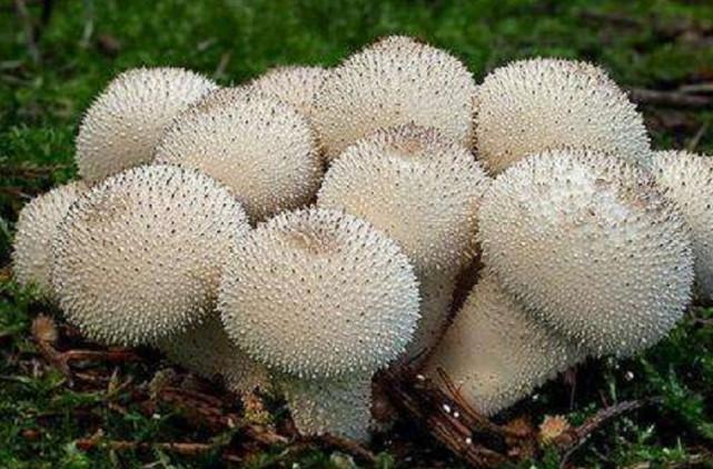 Loại nấm có gai ai nhìn cũng sợ độc nhưng hóa ra lại là món ngon hiếm có - 3