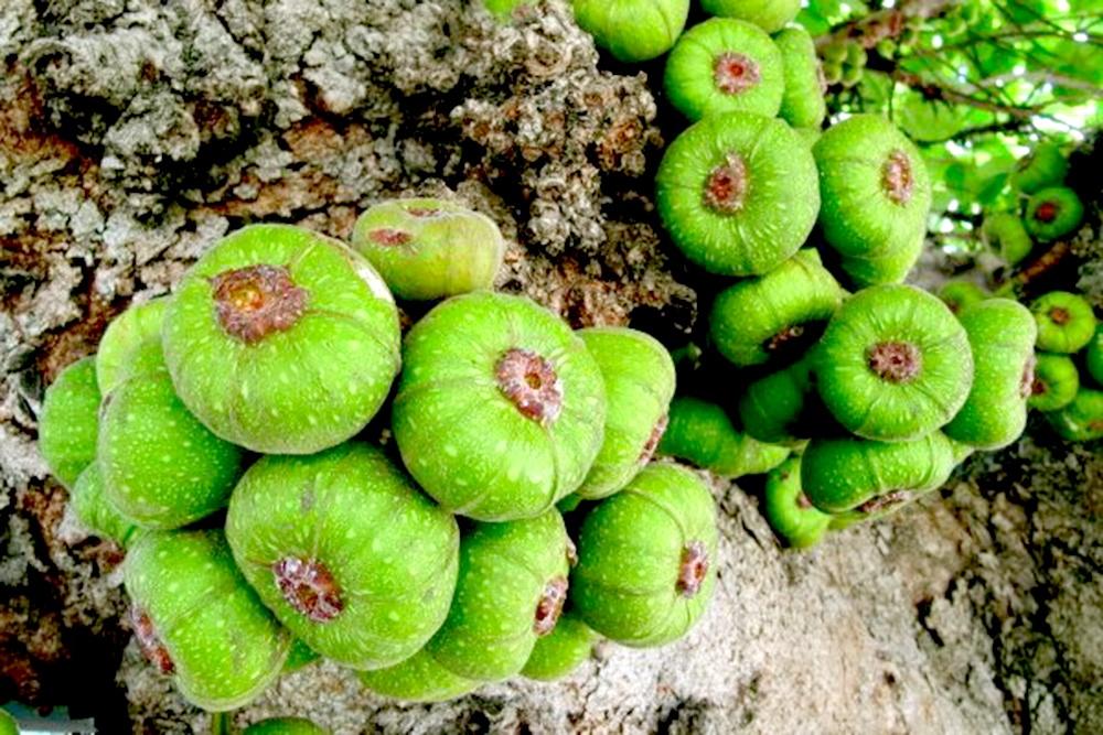Loại quả mọc đầy gốc nhưng rất ít người ăn lại có tác dụng chữa bệnh thần kỳ - 1