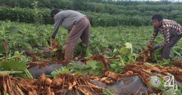"""Trồng """"trái cây đất"""" thu lợi nhuận lên đến hàng trăm triệu"""