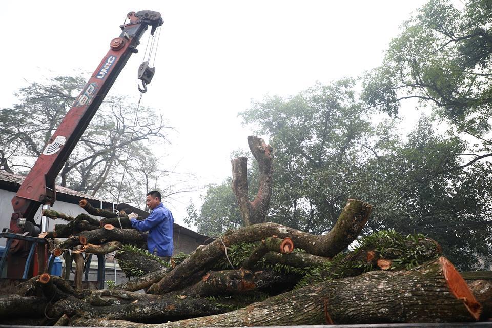 Dự kiến giá sàn thân cây sưa quý từng được trả giá trăm tỷ - 1