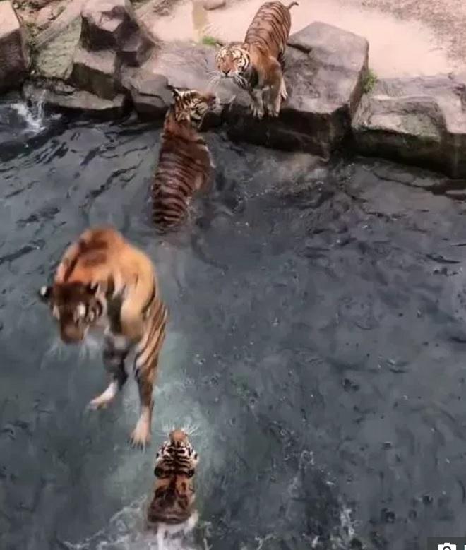 Video: Bầy hổ tung người lên không, với miếng thịt treo trên hồ nước - 2