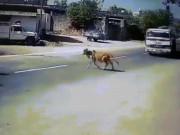 Xe bồn thực hiện cú xoay thần thánh cứu mạng chú bò băng qua đường