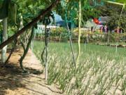 Quảng Ngãi: Đàn rắn dài ngoẵng, siêu to bò trên giàn quanh ruộng tỏi