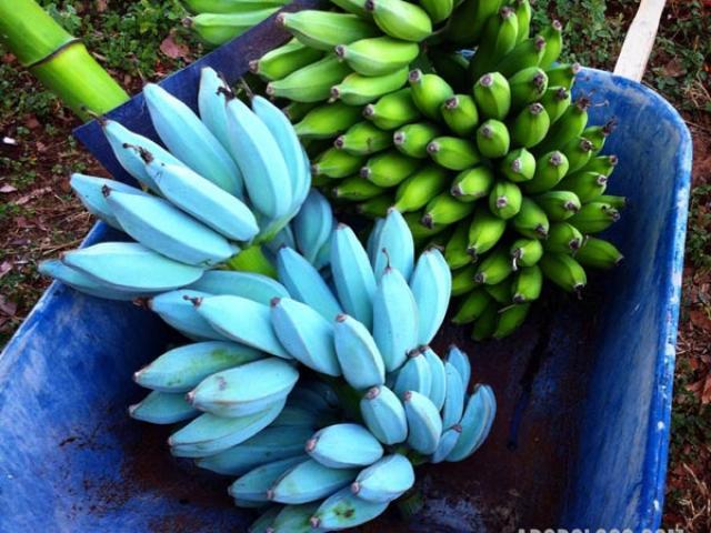 Chuối màu xanh lam: Nhìn tưởng bơm hóa chất ai dè đặc sản siêu hiếm