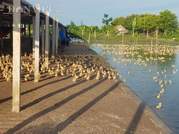 Nam Định: Nuôi vịt to xác, bán chạy như tôm tươi, thu tiền tỷ/năm - 3