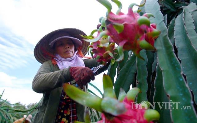 Xuất khẩu rau quả sang Trung Quốc: Hấp dẫn nhưng vẫn bí thông tin - 2