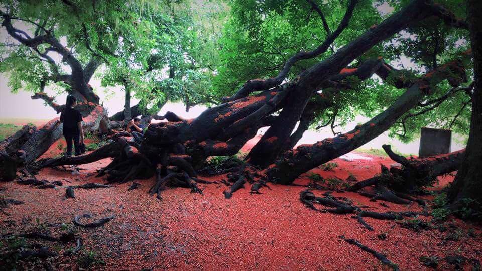 Chiêm ngưỡng sắc đỏ tuyệt đẹp của hoa lộc vừng ngàn năm tuổi ở gò Vình - 3