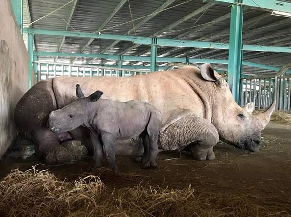 Vinpearl Safari chào đón tê giác thứ 3 chào đời - 1