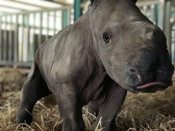 Vinpearl Safari chào đón tê giác thứ 3 chào đời - 2