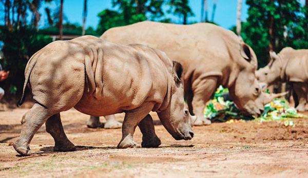 Vinpearl Safari chào đón tê giác thứ 3 chào đời - 5
