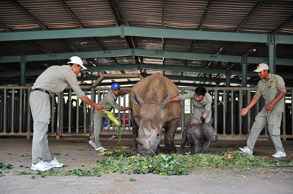 Vinpearl Safari chào đón tê giác thứ 3 chào đời - 6