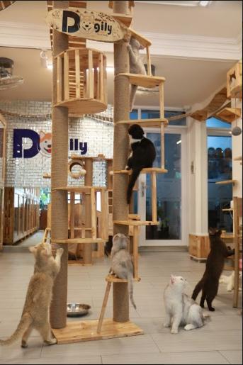 """Dogily Petshop – """"Thiên đường vàng"""" của loài mèo Anh lông ngắn - 3"""