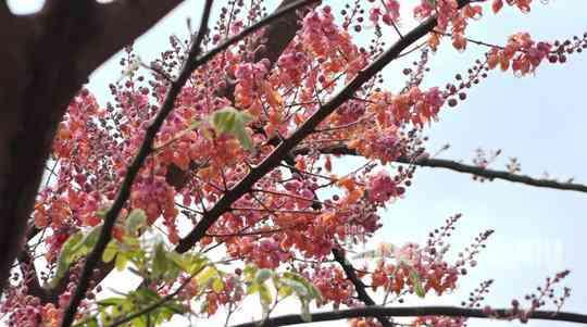 Về miền Tây ngắm vẻ đẹp dung dị của bông và trái ô môi - 1