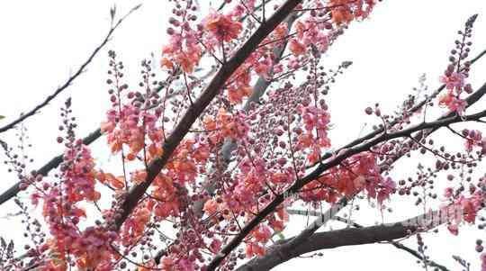 Về miền Tây ngắm vẻ đẹp dung dị của bông và trái ô môi - 2