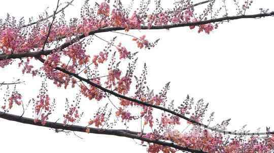 Về miền Tây ngắm vẻ đẹp dung dị của bông và trái ô môi - 4