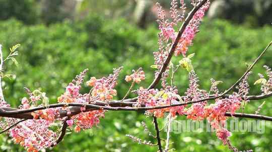 Về miền Tây ngắm vẻ đẹp dung dị của bông và trái ô môi - 5