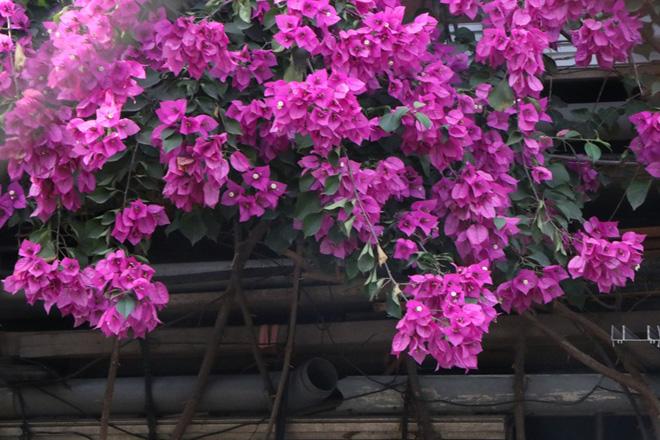 """Ngắm ngôi nhà hoa giấy """"vạn người mê"""" độc nhất ở Hà Nội - 13"""