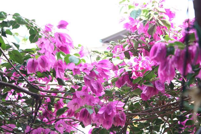 """Ngắm ngôi nhà hoa giấy """"vạn người mê"""" độc nhất ở Hà Nội - 14"""