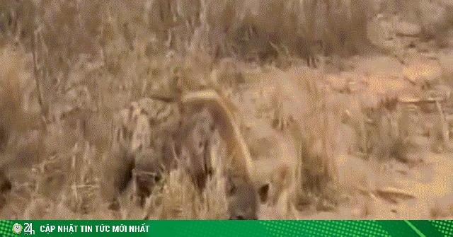 Linh cẩu đói cướp mồi ngon từ trăn khổng lồ