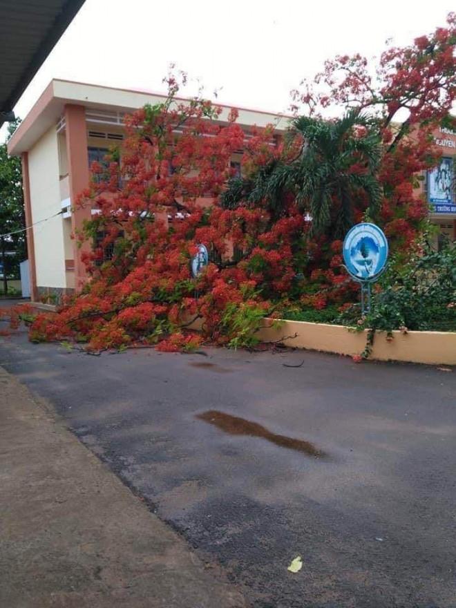 Thêm cây phượng bật gốc ở sân trường tiểu học tỉnh Đồng Nai - 2