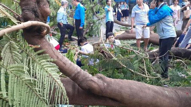 Thêm cây phượng bật gốc ở sân trường tiểu học tỉnh Đồng Nai - 3